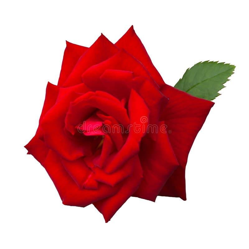 被隔绝的红色玫瑰色花 免版税库存图片