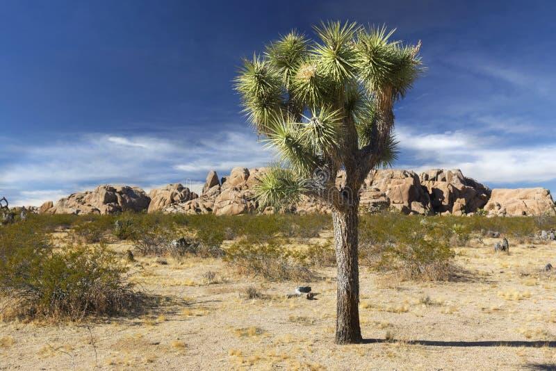 被隔绝的约书亚树风景沙漠风景晴朗的冬天加利福尼亚天 免版税库存照片