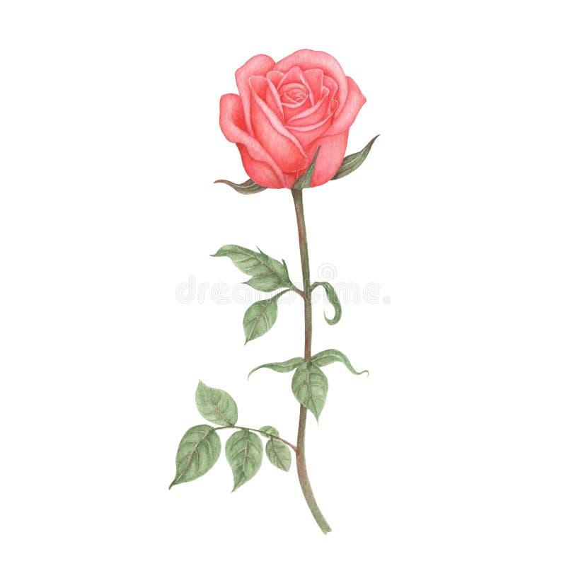 被隔绝的罗斯水彩 背景例证玫瑰色向量白色 罗斯的水彩手画例证 库存例证