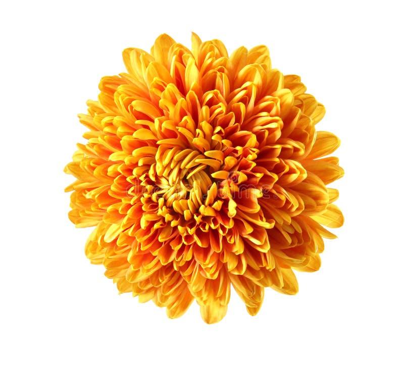 被隔绝的美丽的橙色菊花 库存图片