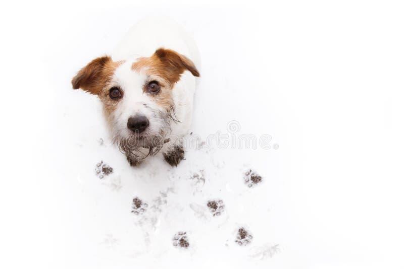 被隔绝的肮脏的杰克罗素狗,在一个泥浆坑的戏剧以后与反对白色背景的爪子印刷品 r 免版税图库摄影