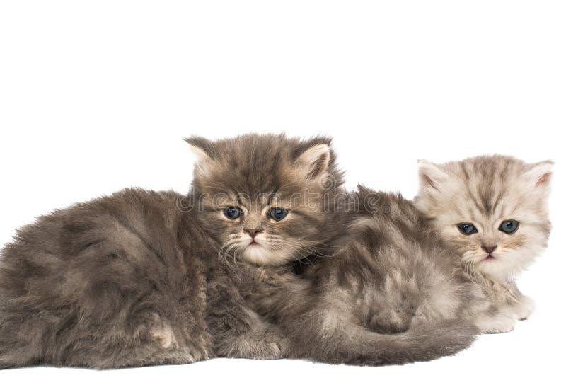 被隔绝的蓬松小猫 库存图片