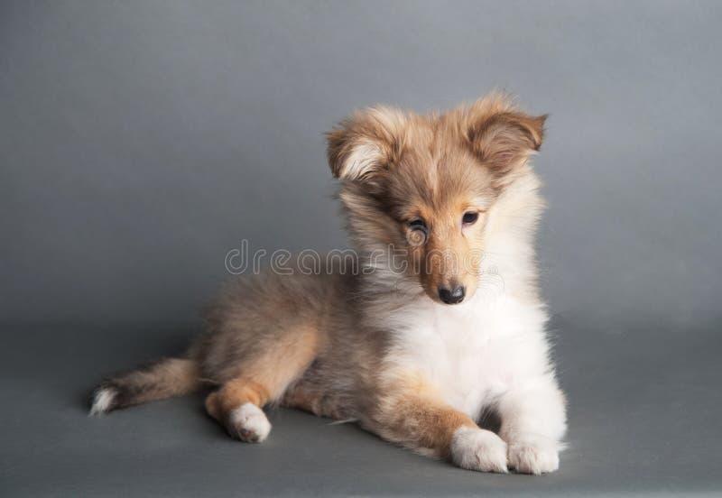 被隔绝的设德蓝群岛牧羊犬小狗在演播室 免版税库存照片
