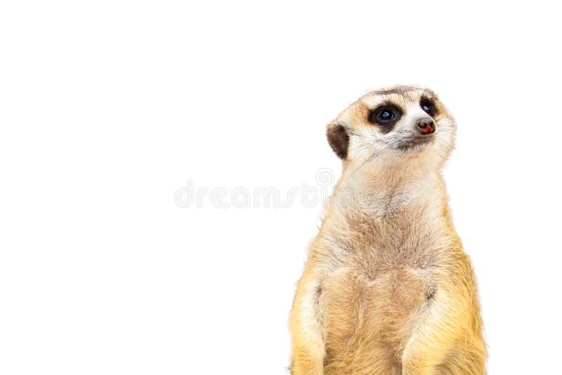 被隔绝的逗人喜爱的Meerkat 免版税库存照片