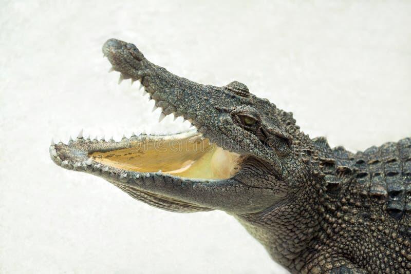 被隔绝的野生生物鳄鱼开放嘴 库存图片