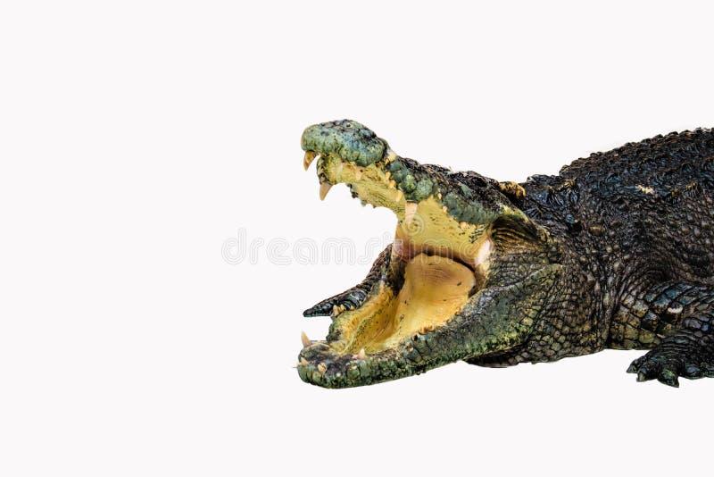 被隔绝的鳄鱼 库存图片