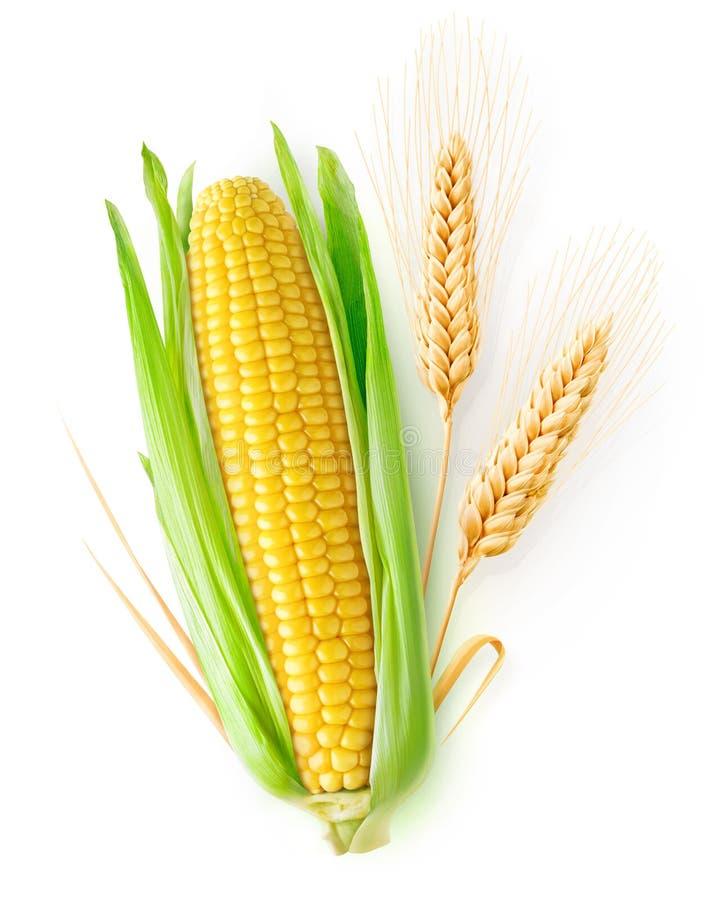 被隔绝的麦子和玉米 库存图片