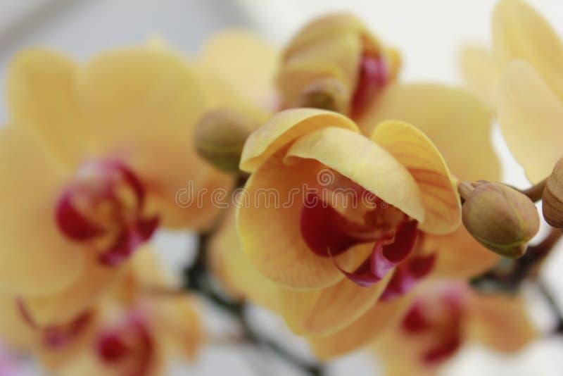 被隔绝的黄色和桃红色花特写镜头 免版税库存图片