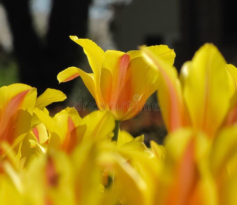 被隔绝的黄色和橙色郁金香背景 免版税库存图片
