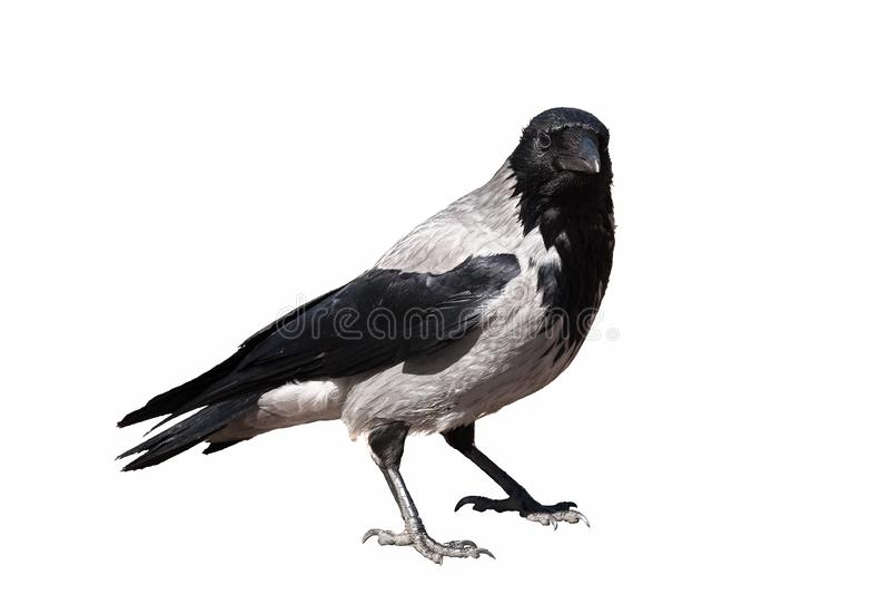 被隔绝的黑和灰色乌鸦 库存照片