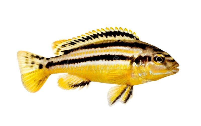 被隔绝的Auratus丽鱼科鱼Melanochromis auratus金黄mbuna水族馆鱼 免版税库存照片