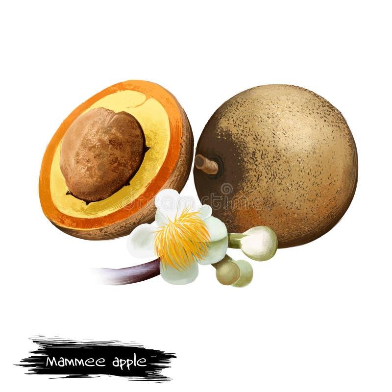 被隔绝的Mammee苹果,mamey,圣多明哥杏子 向量例证