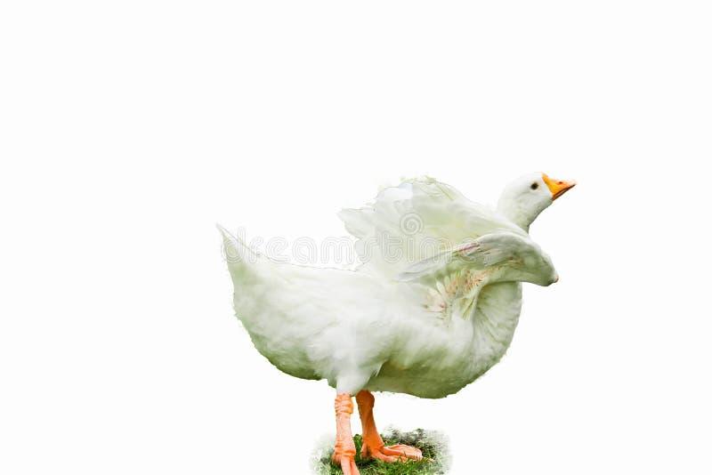 被隔绝的Pekin鸭子 库存图片