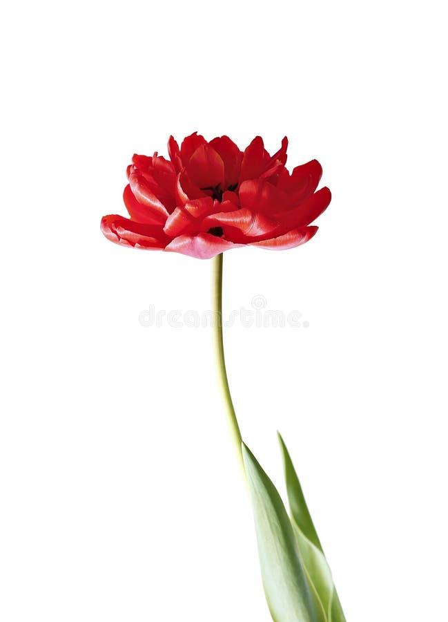 被隔绝的一红色郁金香 库存照片