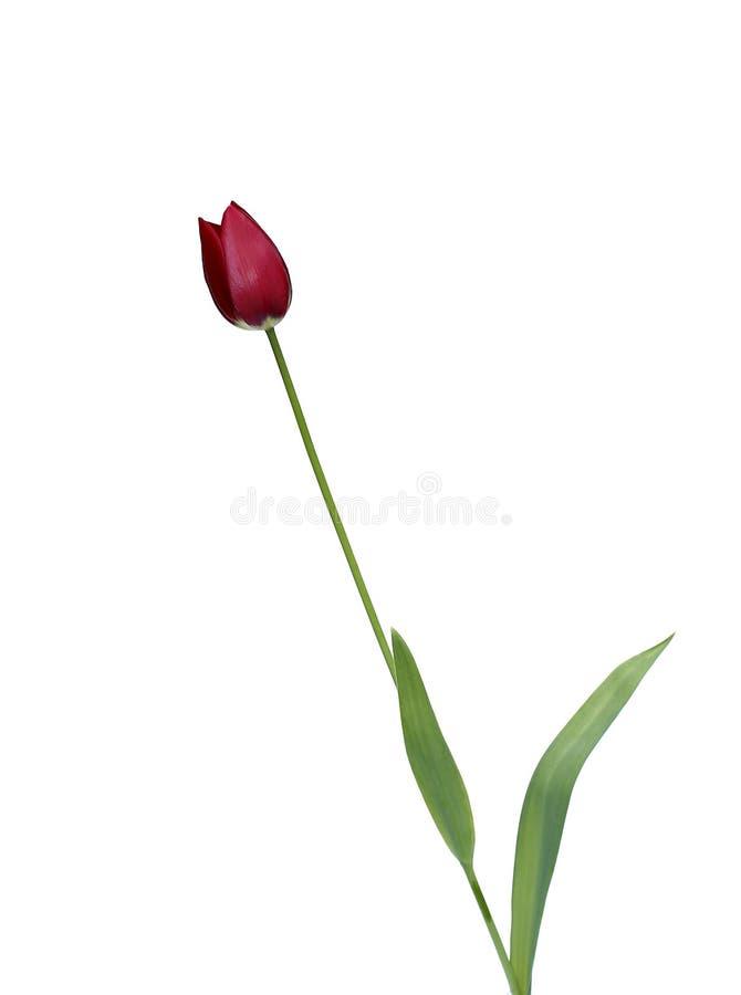 被隔绝的一红色郁金香 免版税库存照片