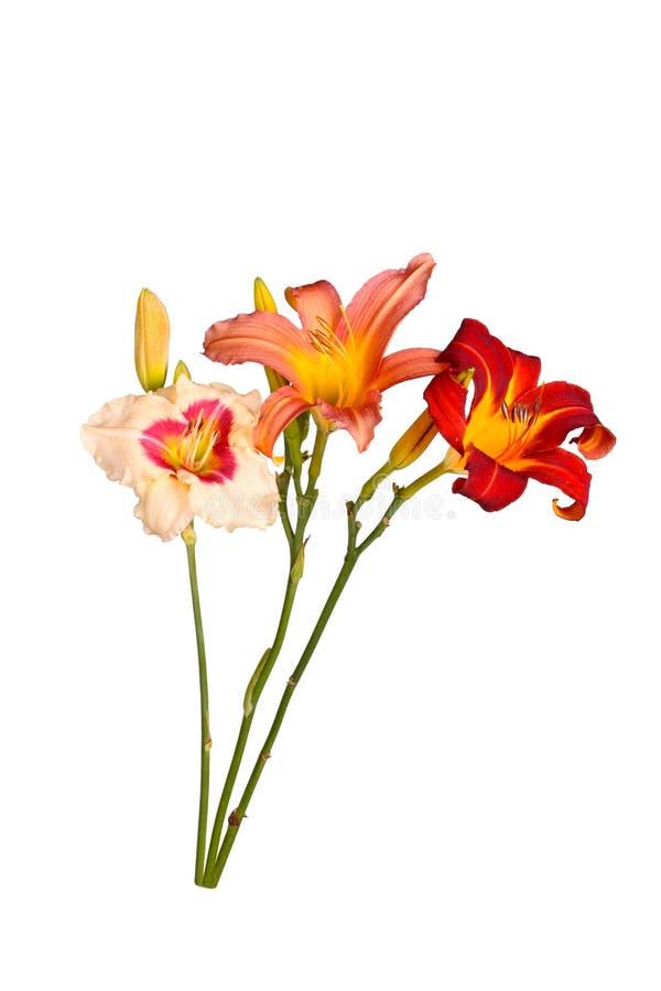 被隔绝的三朵不同黄花菜花词根  免版税库存图片