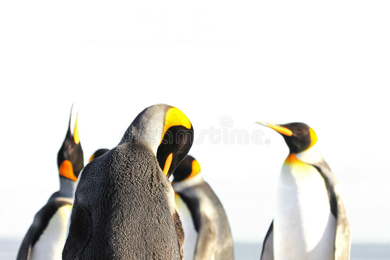 被隔绝的企鹅国王,白色背景 图库摄影