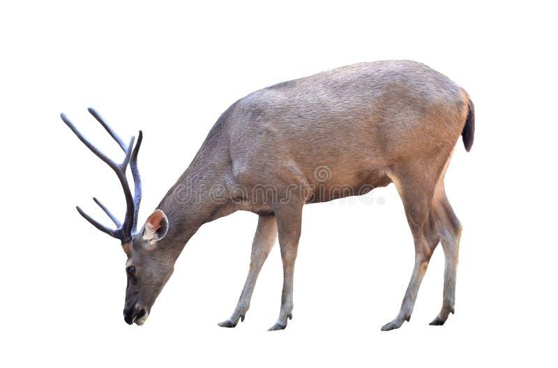 被隔绝的公sika鹿 库存照片