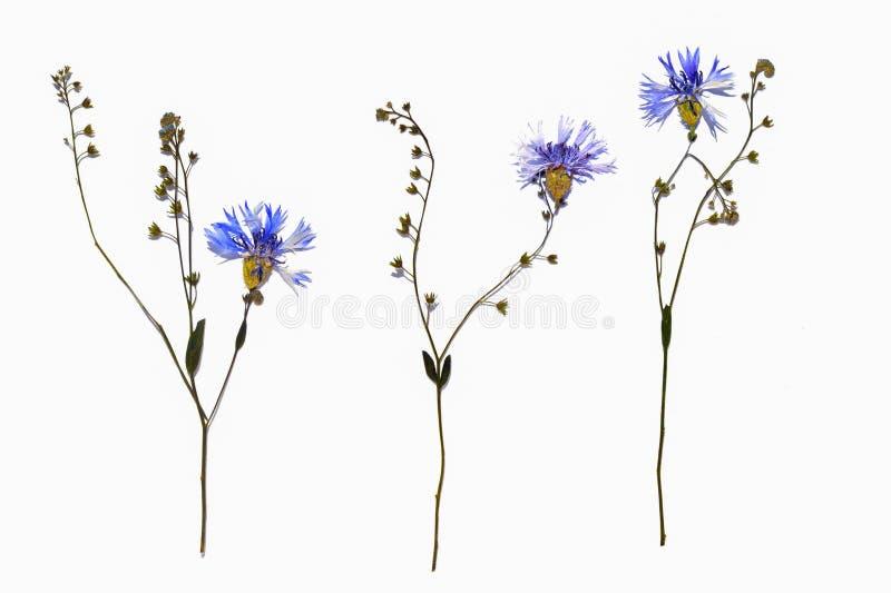 被隔绝的变干的矢车菊开花与勿忘草花词根 库存图片