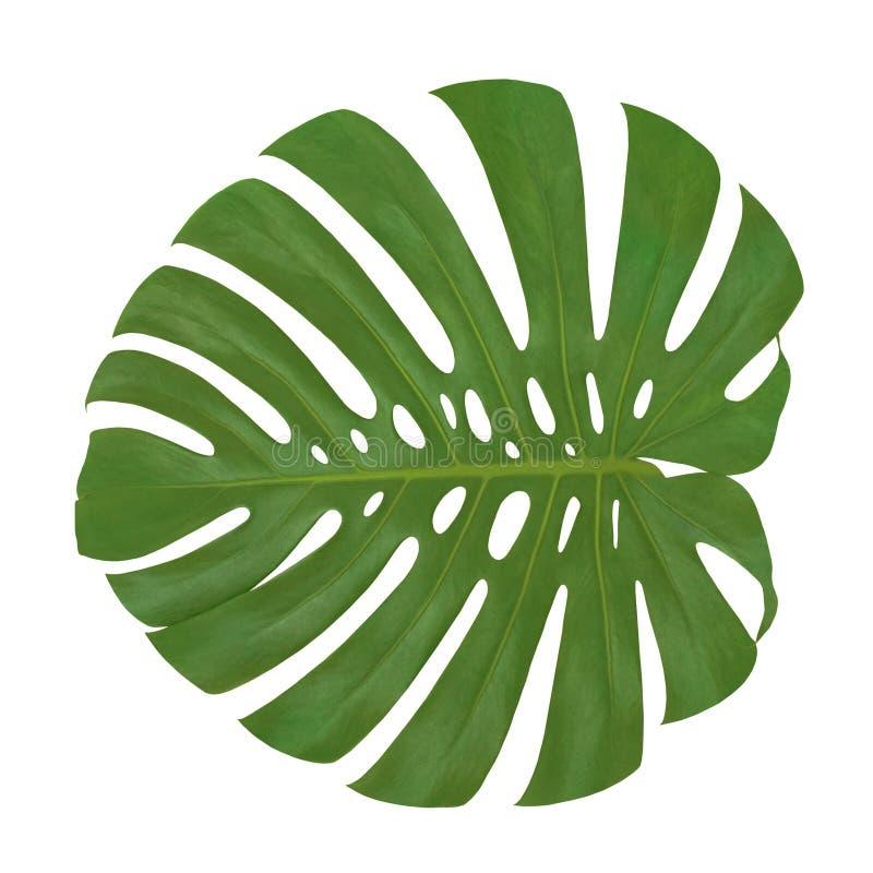 被隔绝的叶子Monstera植物白色背景 异乎寻常的热带棕榈树 库存图片