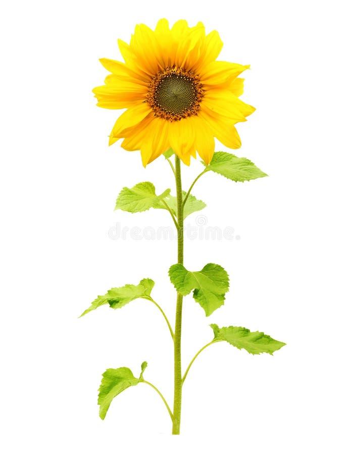被隔绝的向日葵植物 免版税图库摄影