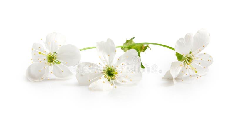 被隔绝的图象的开花的分支接近  库存图片