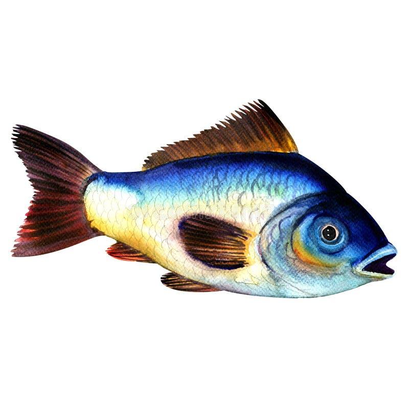 被隔绝的大蓝色未加工的鲤鱼鱼,在白色的水彩例证 库存例证