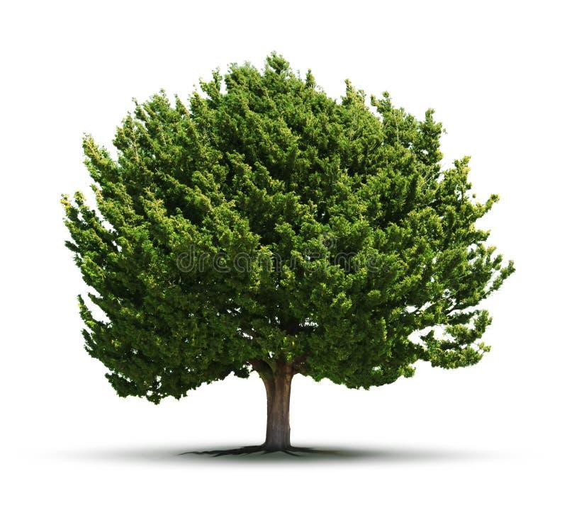 被隔绝的大绿色树 库存图片