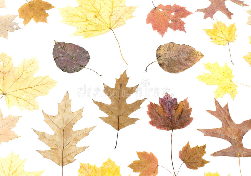被隔绝的套干不同的槭树叶子 免版税库存照片