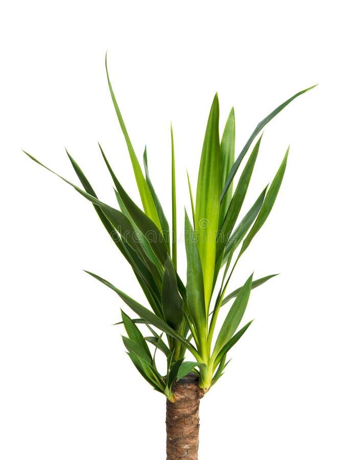 被隔绝的室内植物丝兰 库存图片