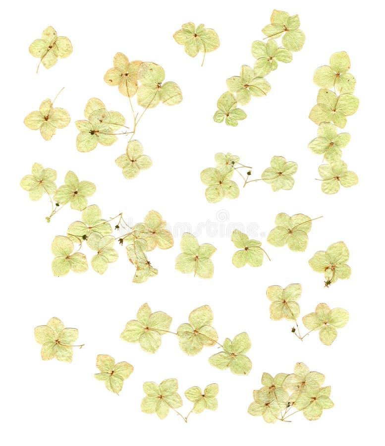 被隔绝的干八仙花属花 免版税库存照片