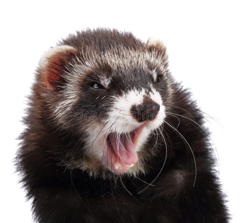 被隔绝的幼小白鼬 免版税库存图片