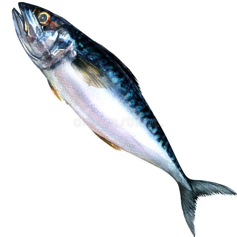 被隔绝的新鲜的鲭鱼鱼,水彩绘画 库存例证