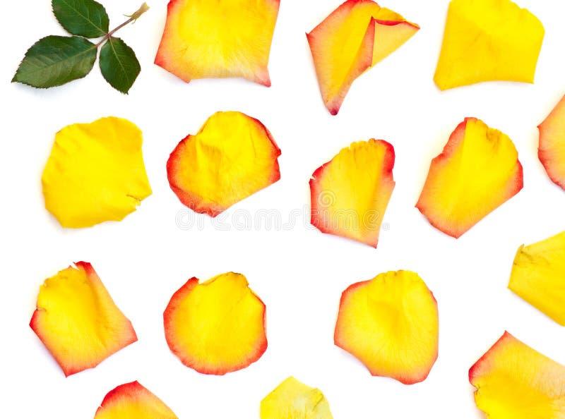 被隔绝的明亮的玫瑰花瓣 库存照片