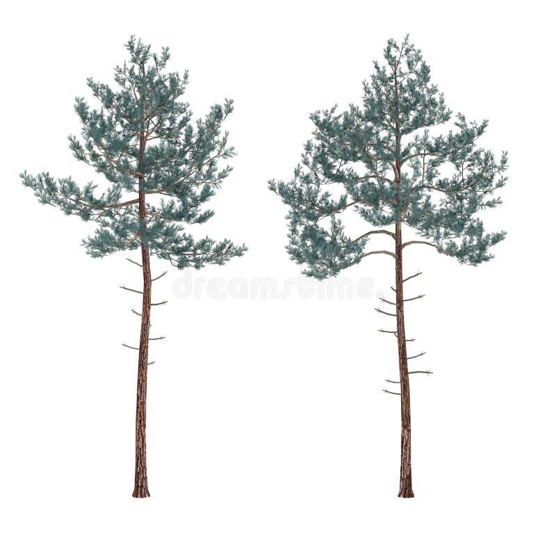 被隔绝的杉树。 库存例证