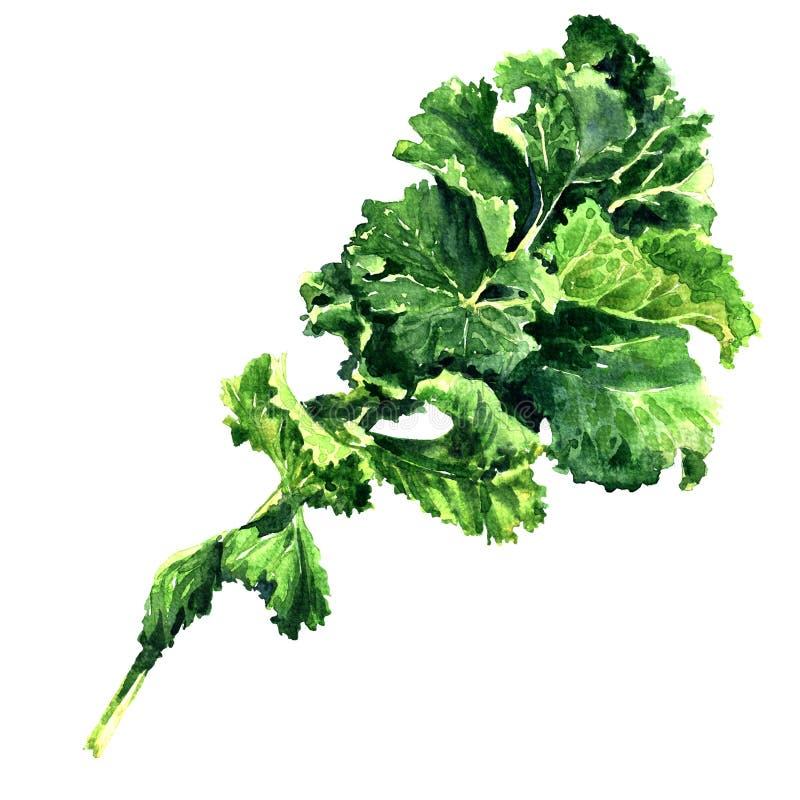 被隔绝的束新鲜的绿色无头甘蓝蔬菜叶,水彩例证 免版税库存照片