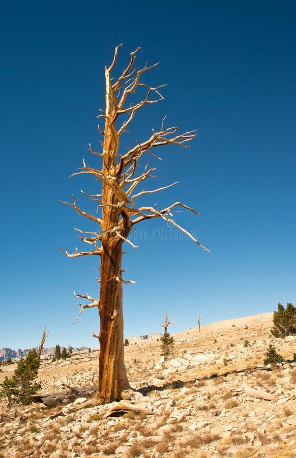 被隔绝的树在高山脉山 免版税图库摄影