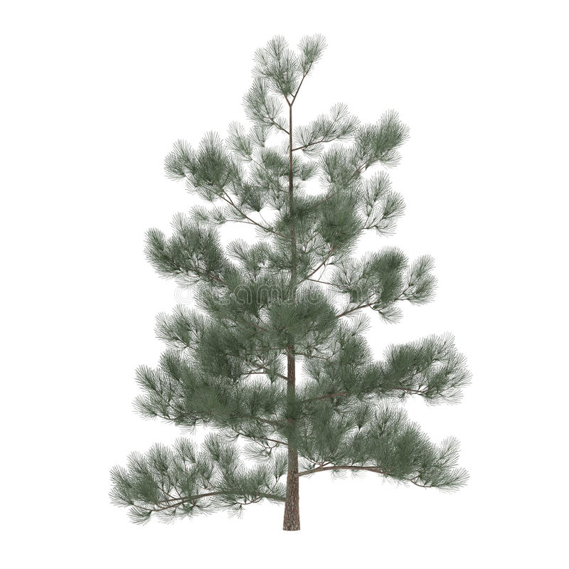 被隔绝的树杉木。异乎寻常的松属 库存图片