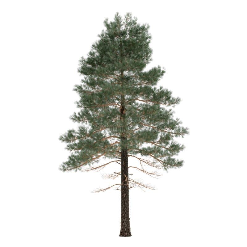 被隔绝的树杉木。松属 图库摄影