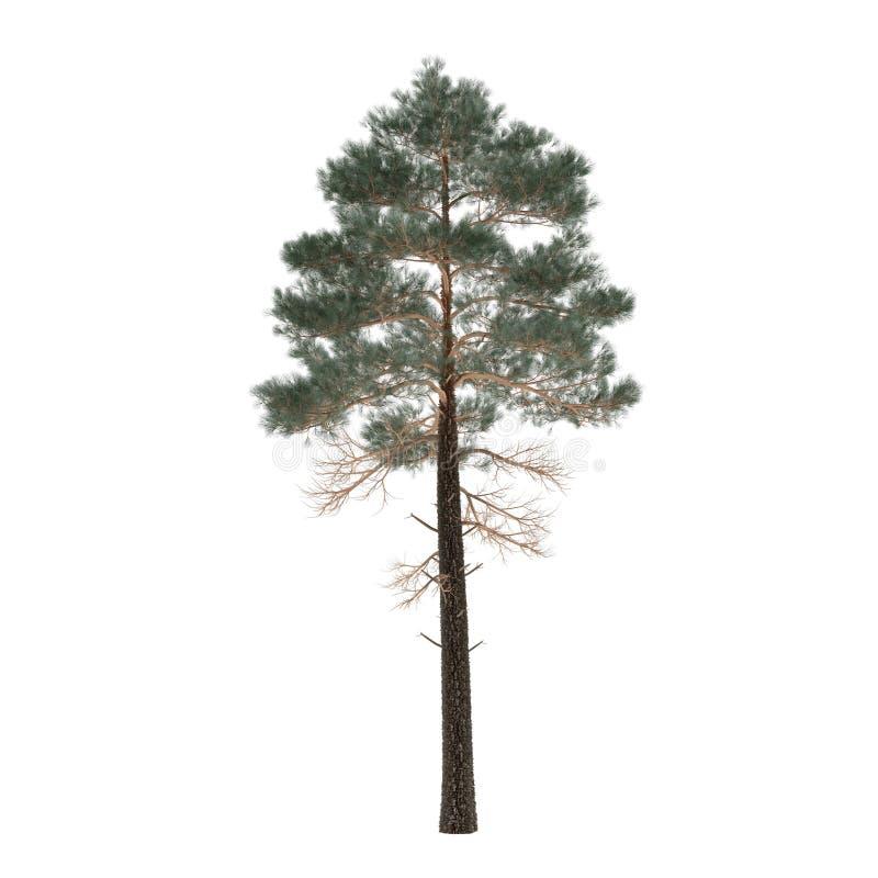 被隔绝的树杉木。松属 库存图片