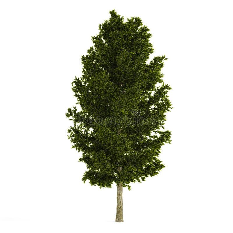 被隔绝的树杉木。 库存例证