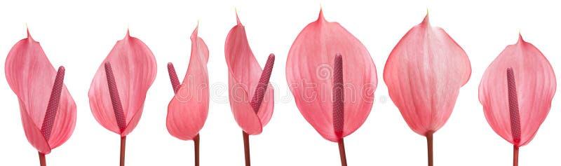 被隔绝的桃红色安祖花 库存照片