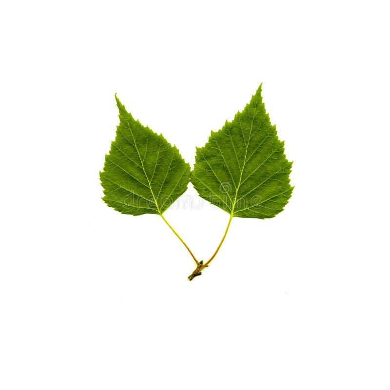 被隔绝的桦树叶子 免版税图库摄影