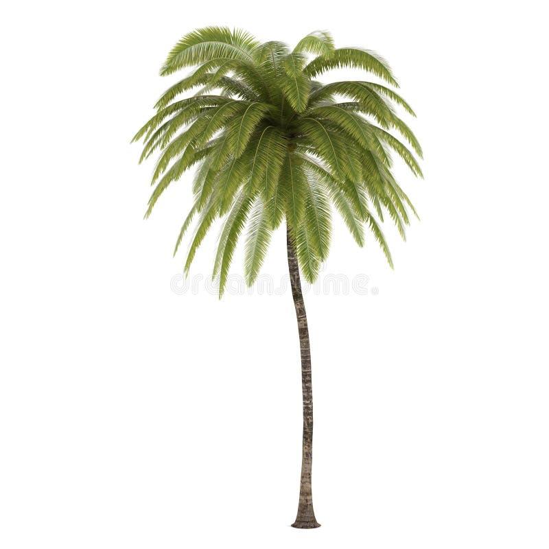 被隔绝的棕榈树。椰树Nucifera 免版税库存照片