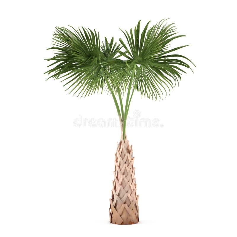 被隔绝的棕榈树。蓝棕矮棕榈条 库存图片