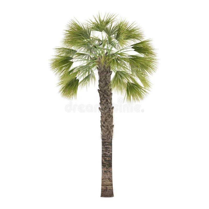 被隔绝的棕榈树。蓝棕矮棕榈条 库存照片