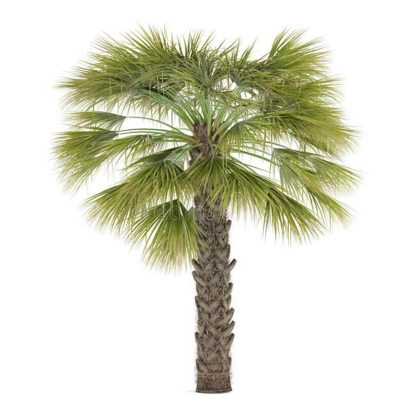 被隔绝的棕榈树。蓝棕矮棕榈条 皇族释放例证