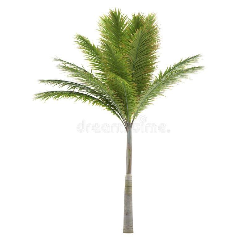 被隔绝的棕榈树。Archontophoenix 库存照片