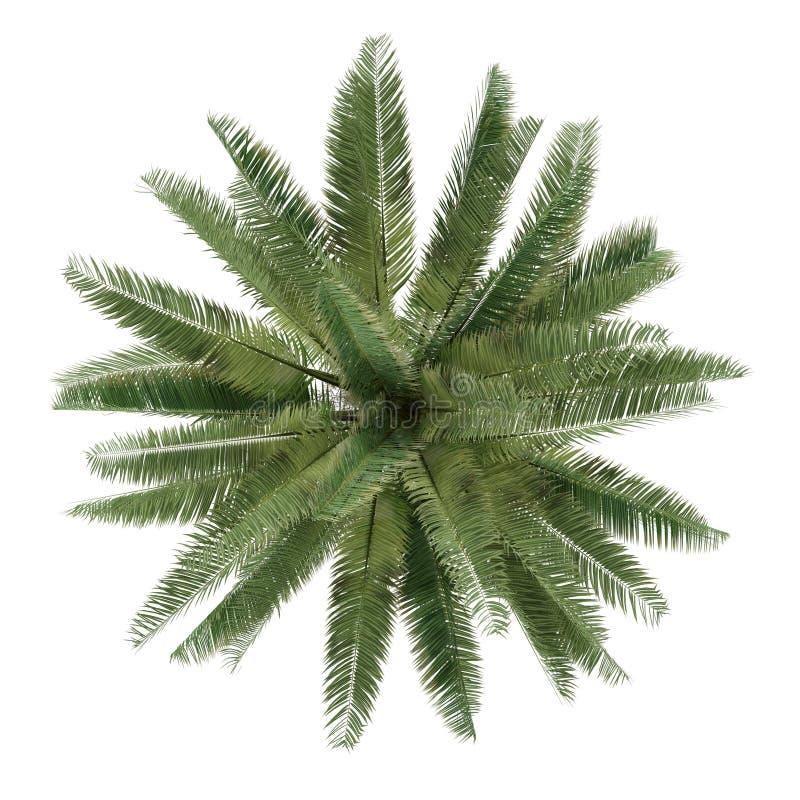 被隔绝的棕榈树。Jubaea chilensis顶视图 库存照片