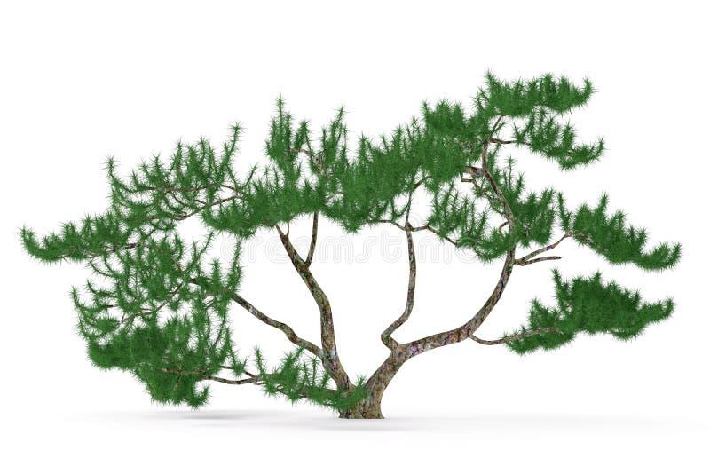 被隔绝的植物树。异乎寻常的杉木 皇族释放例证